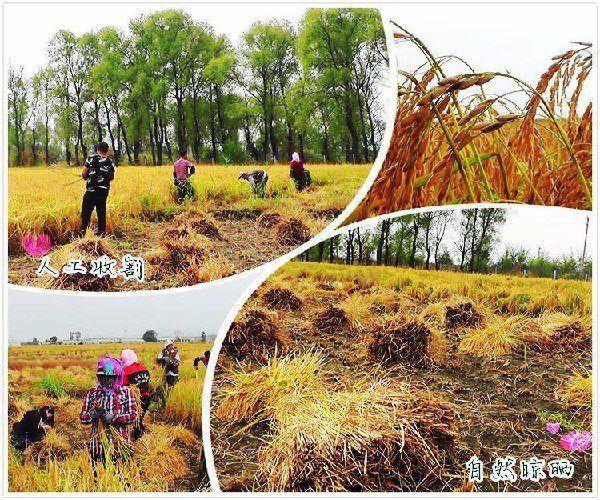哈尔滨高品质有机五常大米厂家直销供应―有品质保障的五常大米