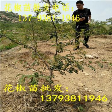 广东珠海营养杯花椒苗50高的多少钱一棵