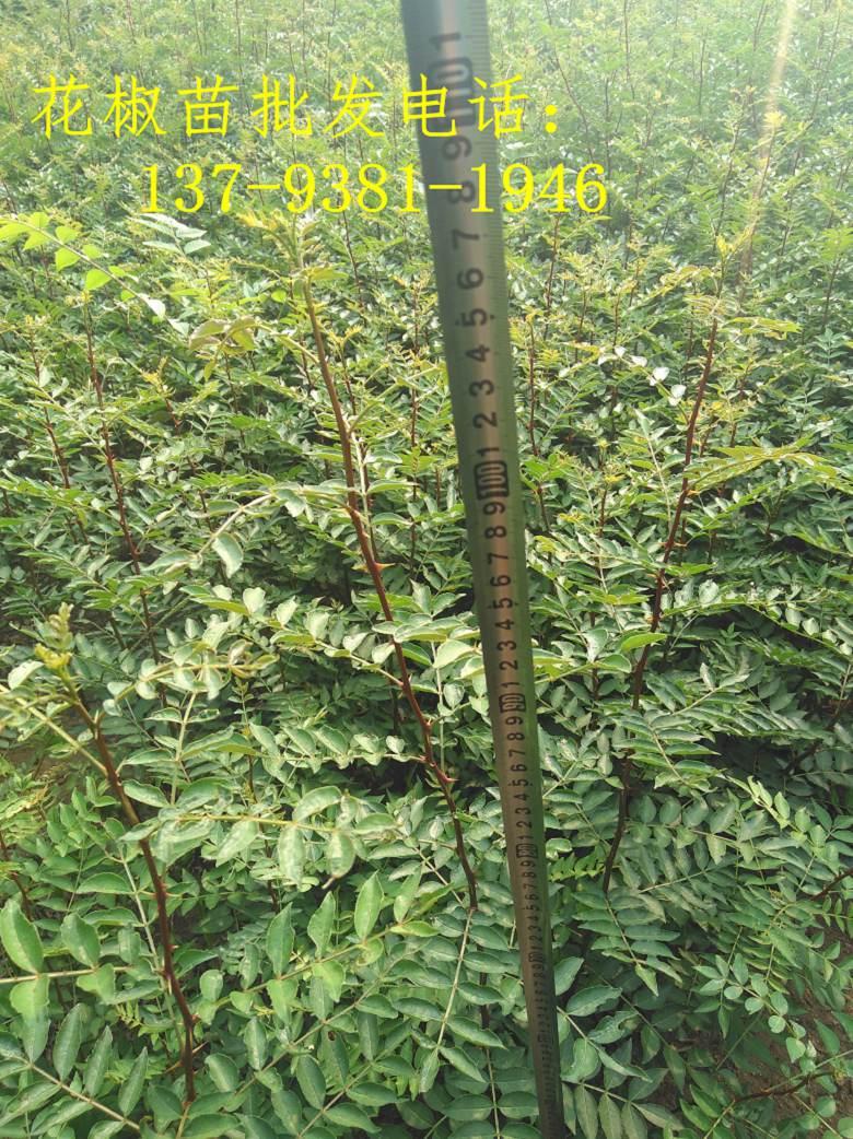 江西宜春种植哪种花椒苗好、收益高