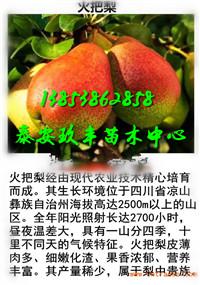 山东济宁哪里还有柱状梨树苗多少钱一棵才卖