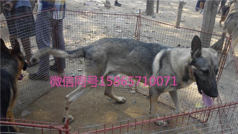 求购狼青犬哪里有卖的;狼青犬价格