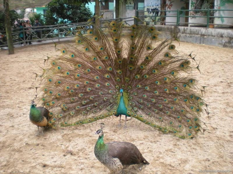 资阳哪里出售种孔雀孔雀养殖场量大从优