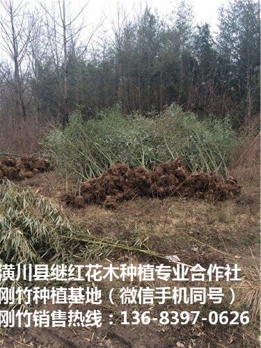 石家庄刚竹培养基地不二选择