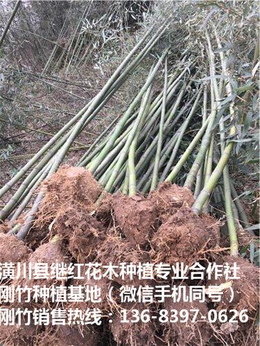 安庆刚竹种植要点不二选择