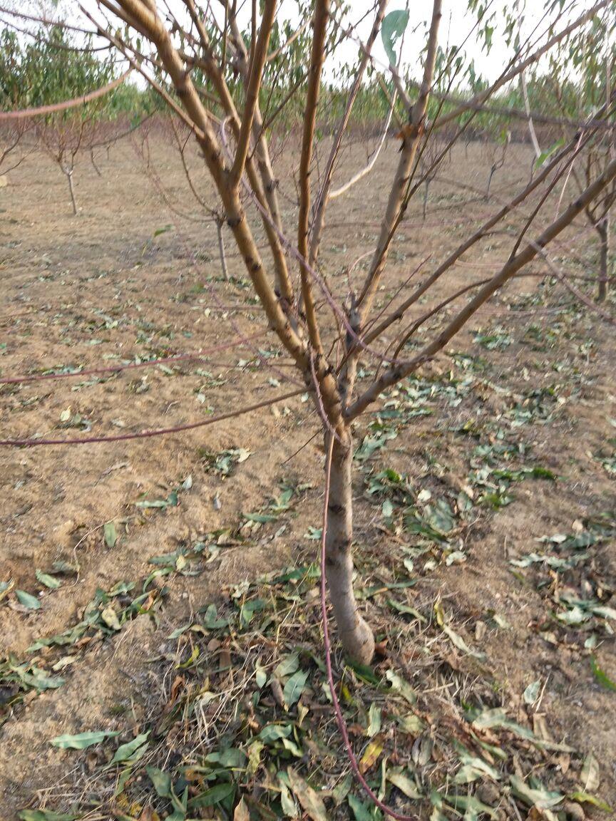 通化早熟桃树苗种植技术耕鑫苗木