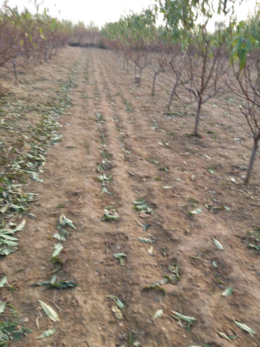 烟台耕鑫苗木管理与种植1公分花椒苗