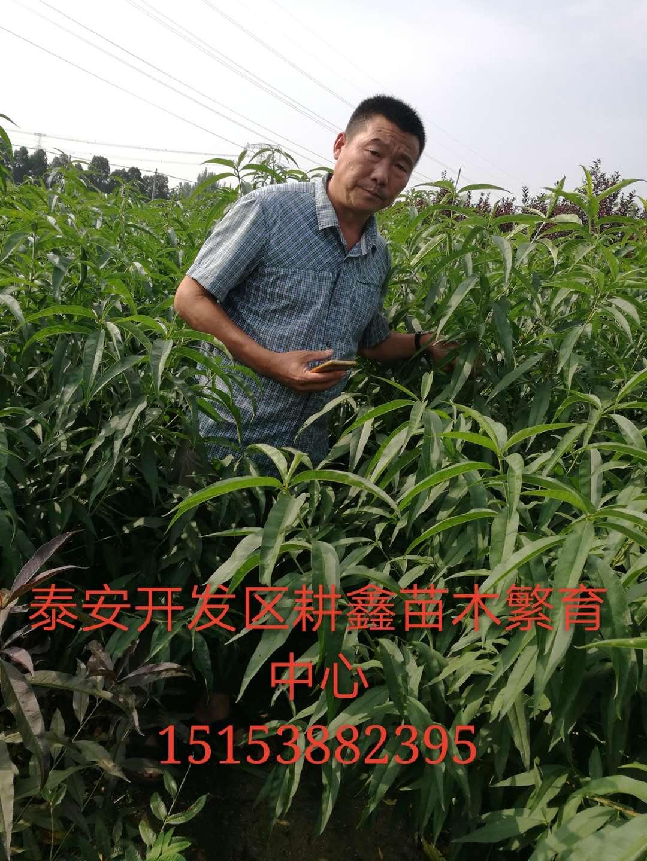 娄底桃树小苗一亩多少棵耕鑫苗木