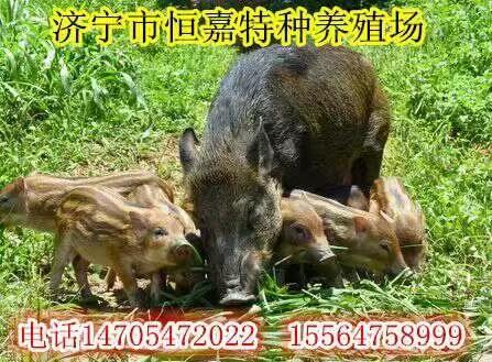 张掖有养殖野猪的养殖场吗