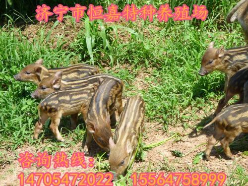 临沧有养殖野猪的养殖场吗