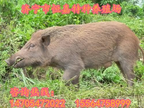 铜川有养殖野猪的养殖场吗