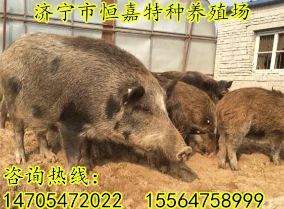 武威有养殖野猪的养殖场吗