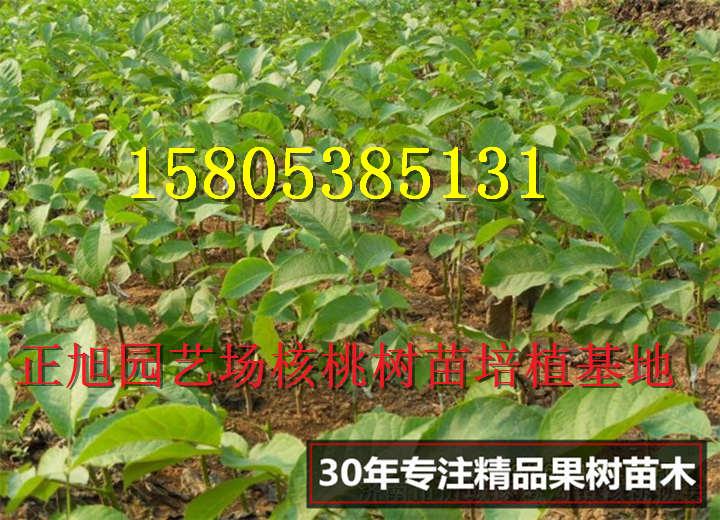 黑龙江牡丹江哪里有售卖嫁接核桃树苗1年苗基地价才卖多少钱
