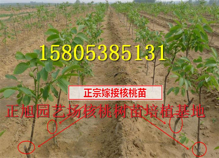 江西上饶哪里有售卖核桃原生树苗基地价才卖多少钱