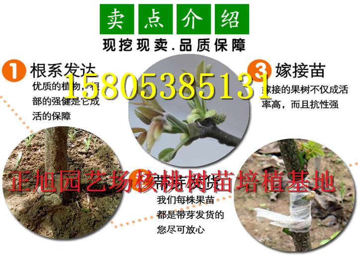 黑龙江黑河哪里有售卖嫁接核桃树苗1年苗基地价才卖多少钱