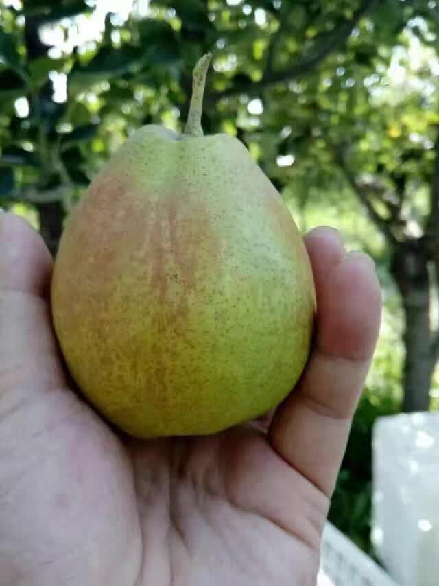 鹤壁新品种苹果树主产区报价