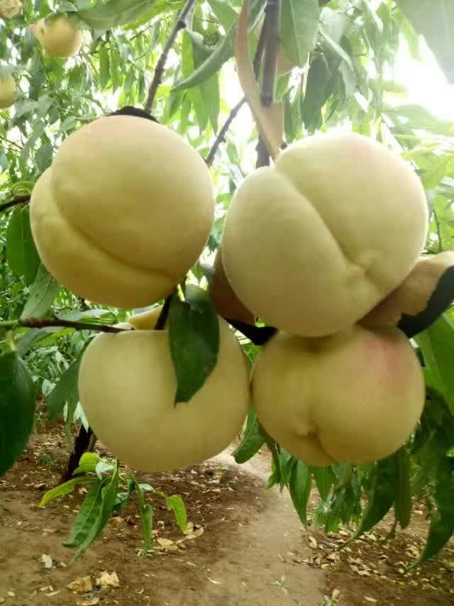 大连新品种苹果树销售基地