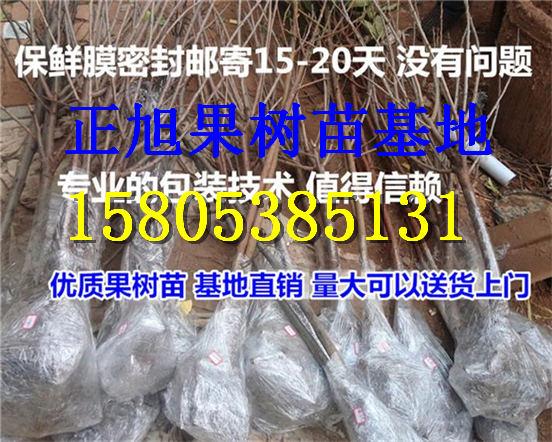 果树苗价格、广东梅州柱状梨树苗哪里有卖的