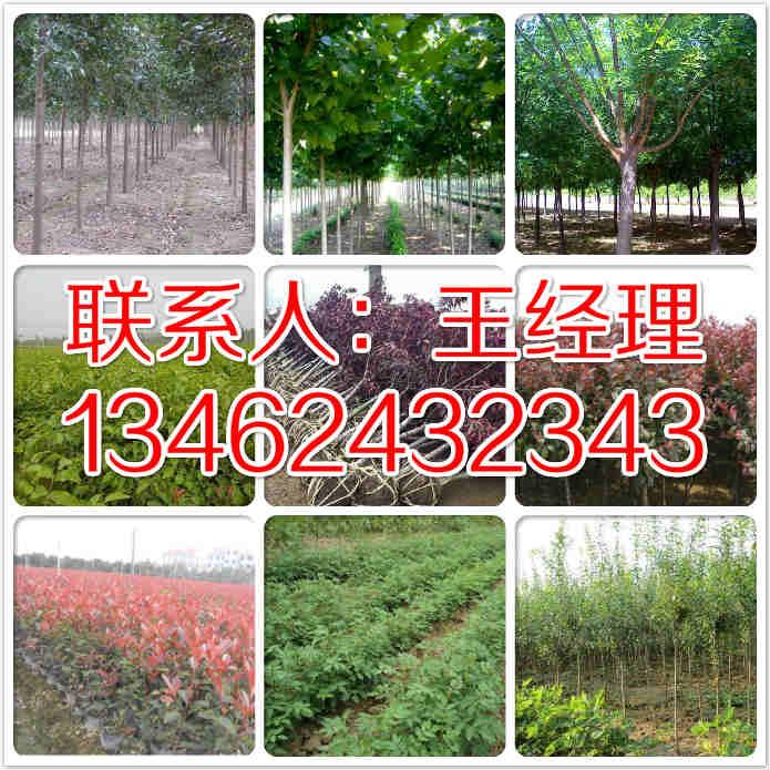 林州9公分大叶女贞联系电话13462432343