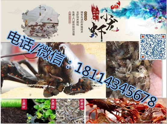 江山龙虾苗、养殖技术提供小龙虾养殖技术、提供养殖技术