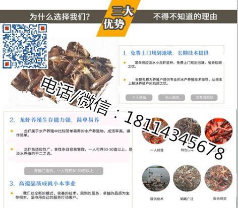 驻马店小龙虾种虾多少钱、龙虾种虾批发