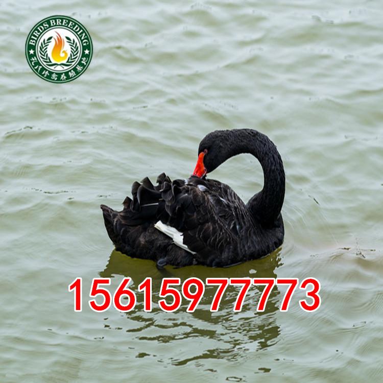 四方区哪里有孔雀养殖场养黑天鹅的养殖场