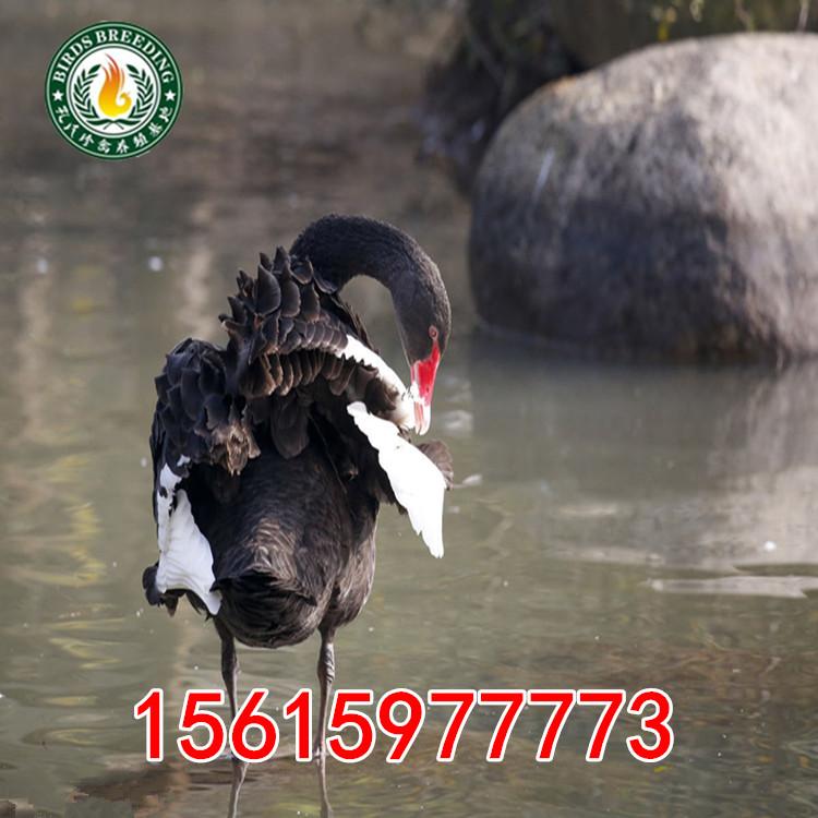 洮北区哪里有孔雀养殖场养黑天鹅的养殖场