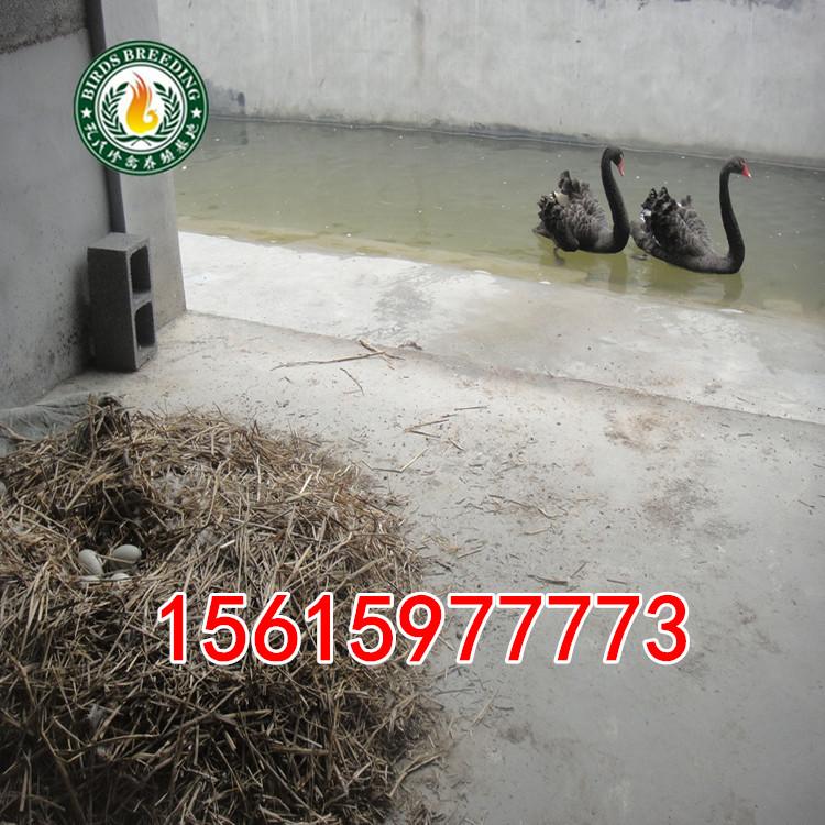 新泰有养殖黑天鹅养殖场吗