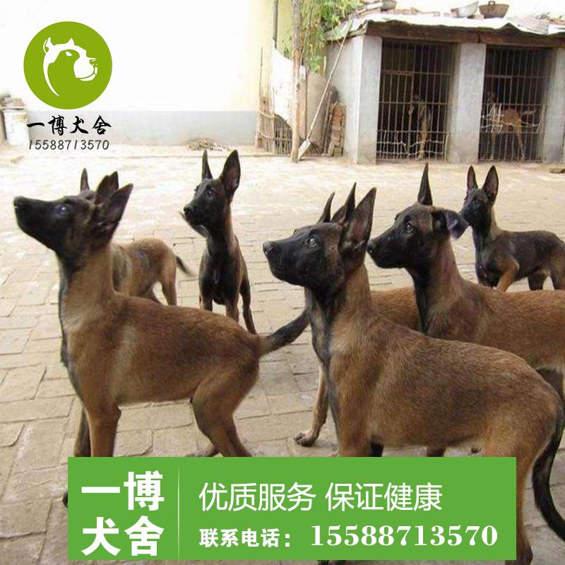 北京哪里出售马犬多少钱一只