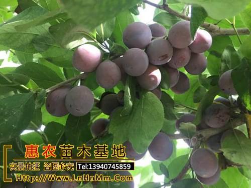 西藏昌都地区幸运李子苗品种纯