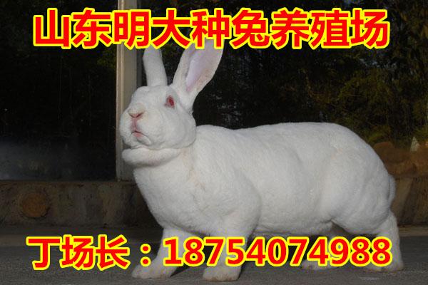满洲里2013年养哪一种兔子好正阳县有养长毛兔的吗