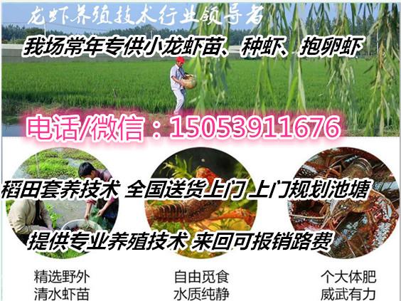 德阳小龙虾种虾批发价格免费提供养殖技术