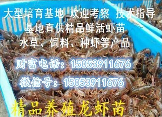 信阳小龙虾价格专业厂家欢迎您