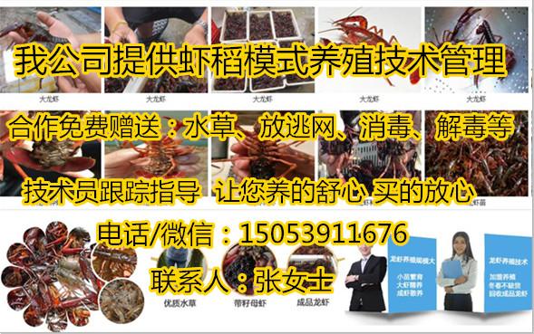 提供养殖技术、苏州小龙虾种虾批发、苏州、随时提供上门培训