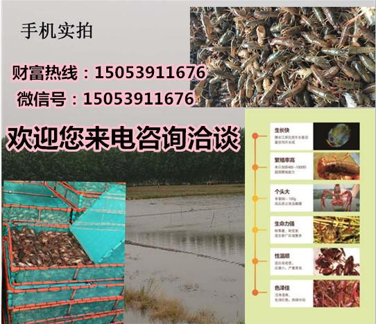 三亚淡水小龙虾苗价格专业厂家欢迎您