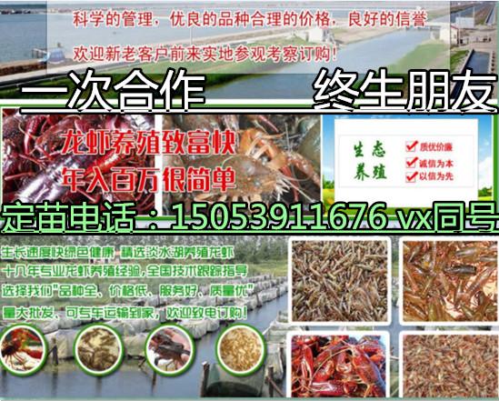 吐鲁番小龙虾苗批发价格专业厂家欢迎您