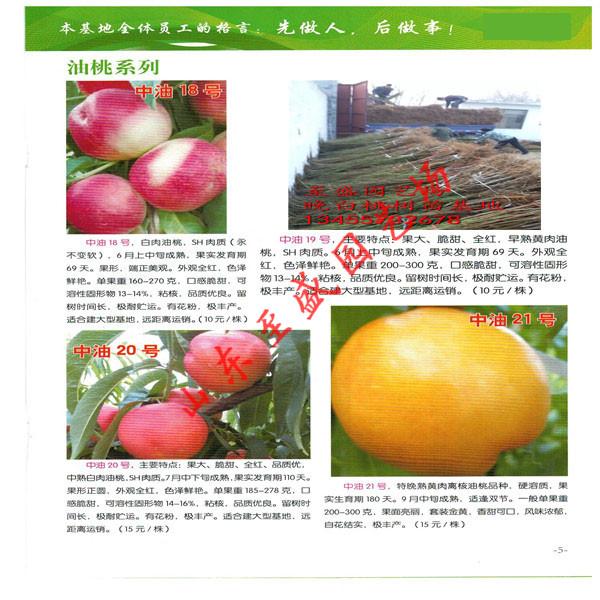 瑞光18号油桃苗哪里品种纯、自产自销