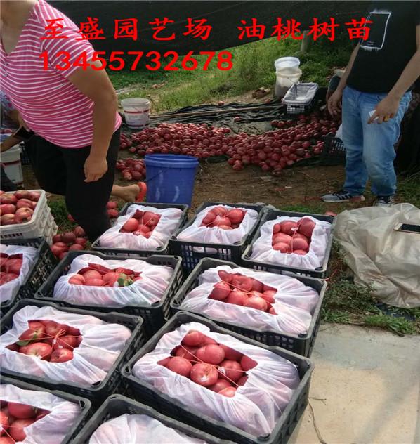 京鸣油桃苗大量零售、当年结果高收益