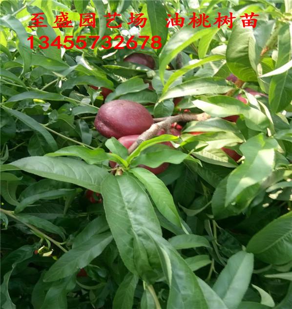 美夏油桃树苗哪里卖、诚信经营