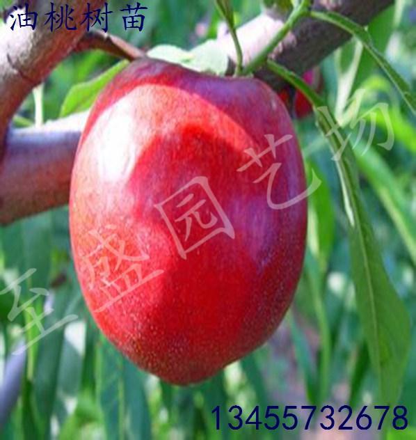瑞光18号油桃苗专业批发、培育中心