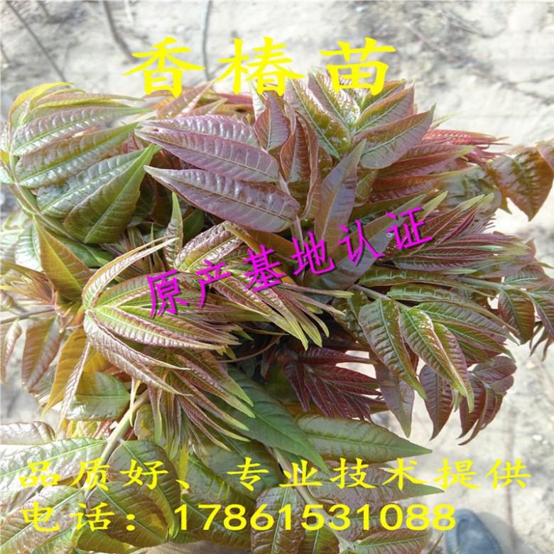 黔南矮化香椿苗一年苗多少钱
