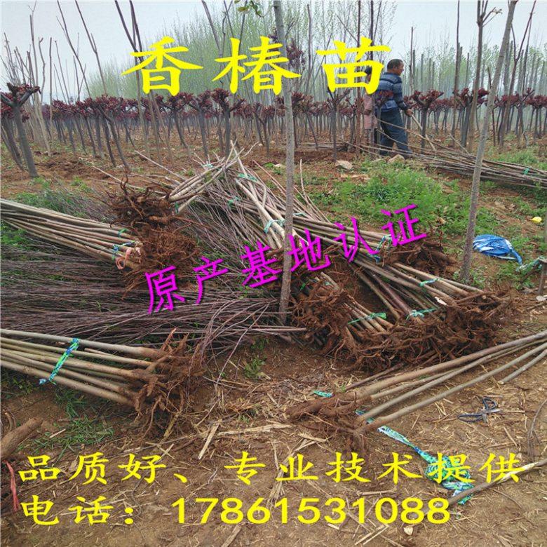 甘肃武威1年、2年、3年矮化红油香椿苗批发价格