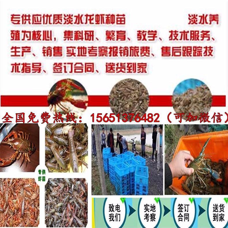 青岛市城阳区小龙虾种苗价格报价
