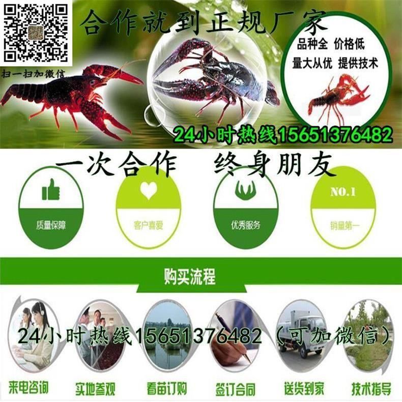 金华市义乌市小龙虾种苗价格批发小龙虾种苗养殖成本和利润