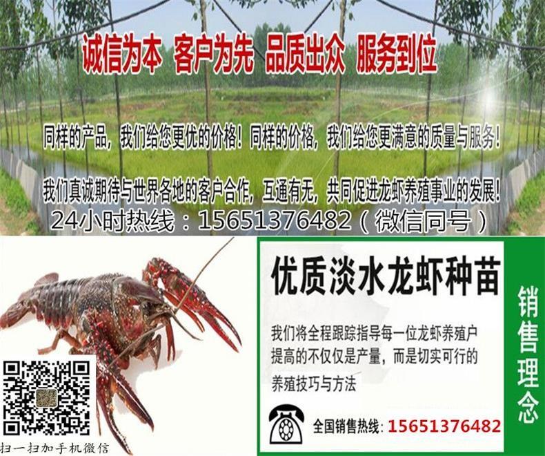 淄博市高青县小龙虾苗养殖-虾苗价格欢迎来电