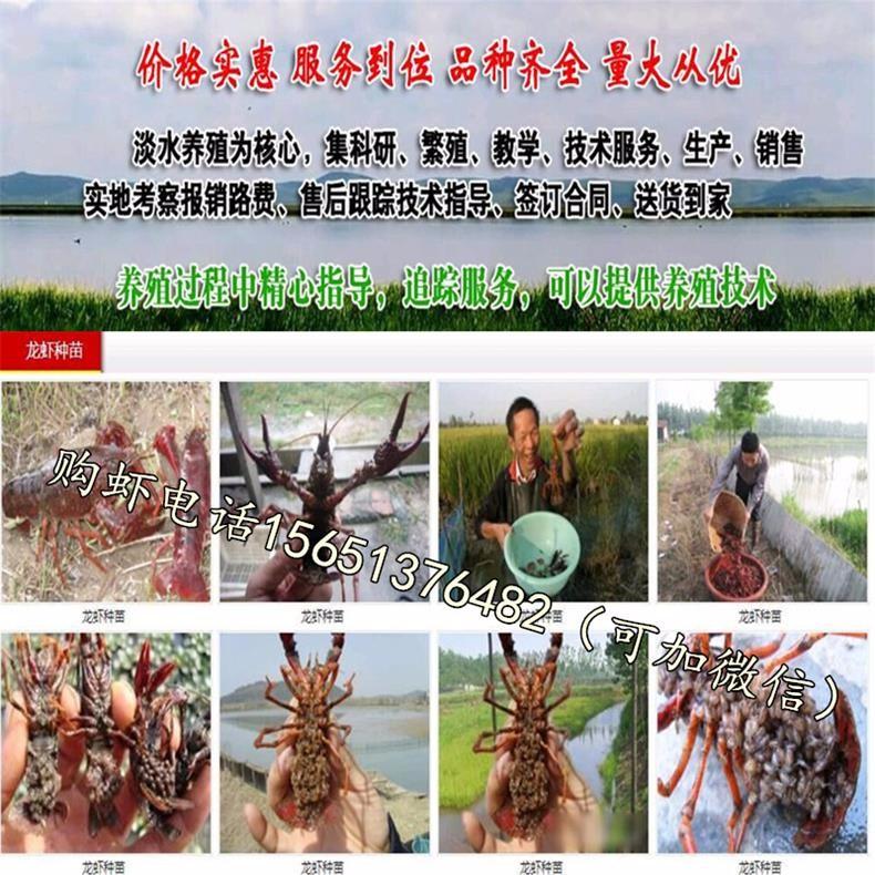 漳州市长泰县小龙虾苗养殖场欢迎来电