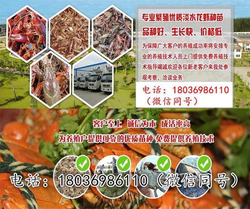 福清小龙虾苗养殖场小龙虾苗批发报价