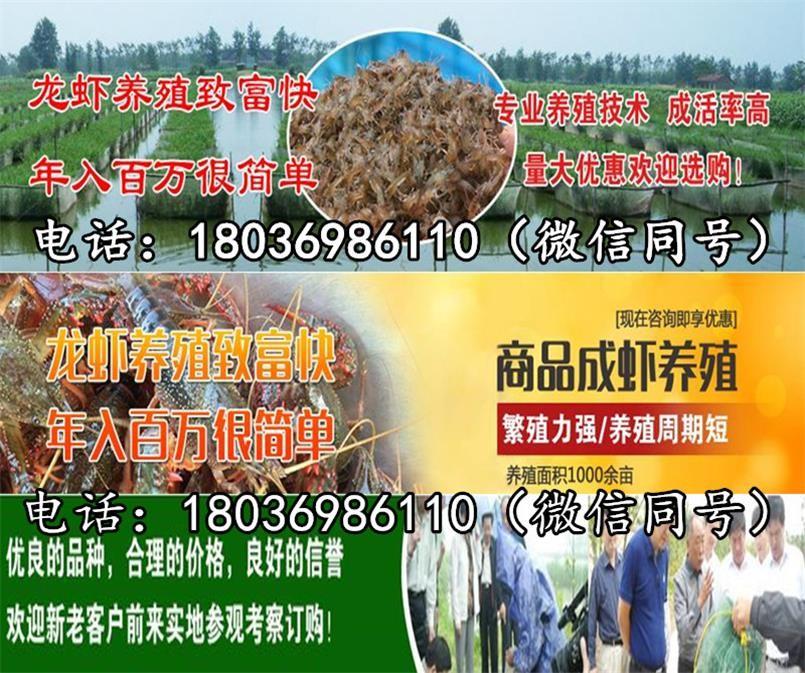 栖霞小龙虾苗养殖场小龙虾苗批发报价