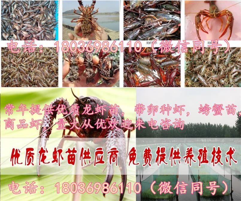 广水小龙虾苗养殖场小龙虾苗批发报价