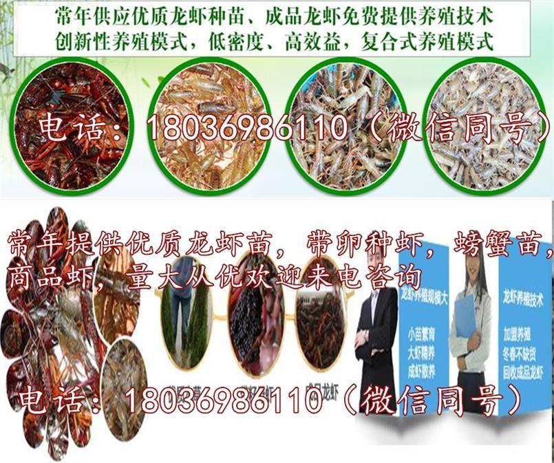 宁国优质小龙虾苗报价小龙虾种苗低价出售