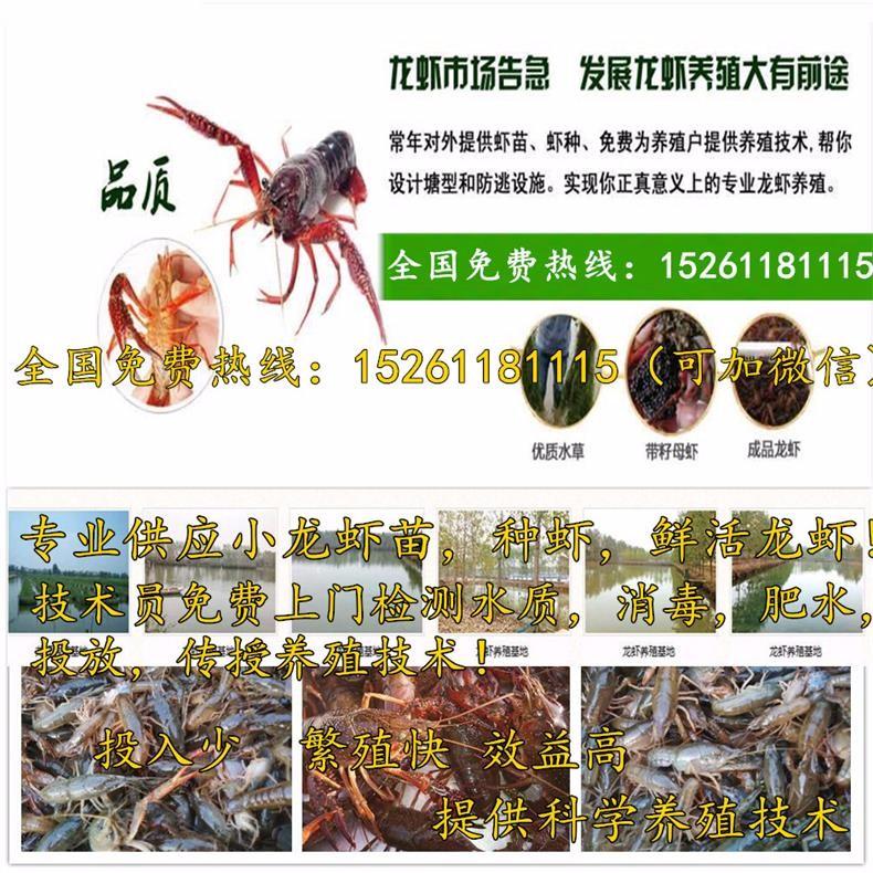 介休小龙虾苗批发报价-虾苗养殖-龙虾种苗养殖利润